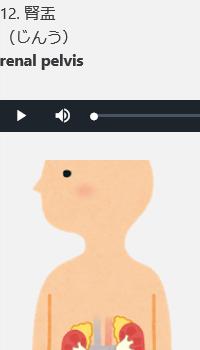 副腎と腎臓と腎盂のイメージ